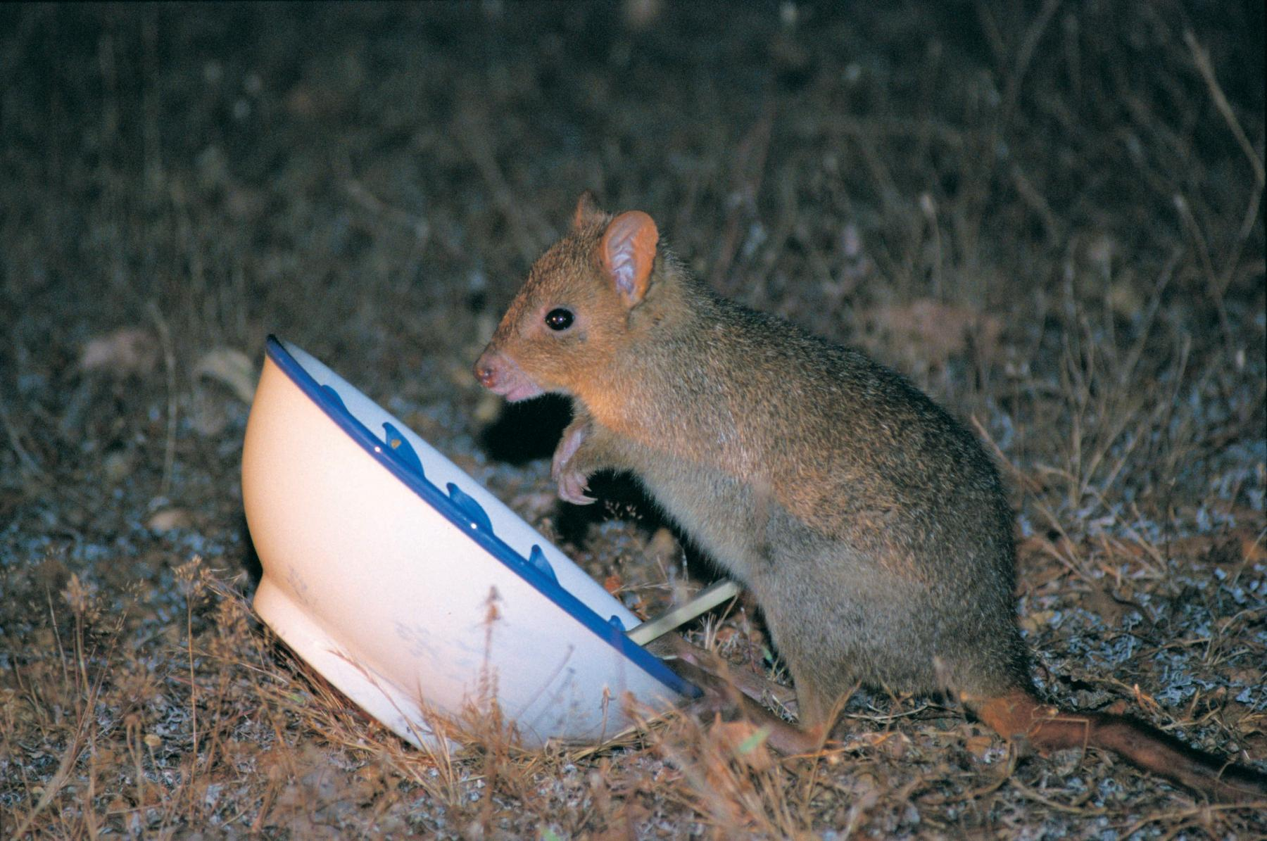 Woylie or Brush-tailed Bettong