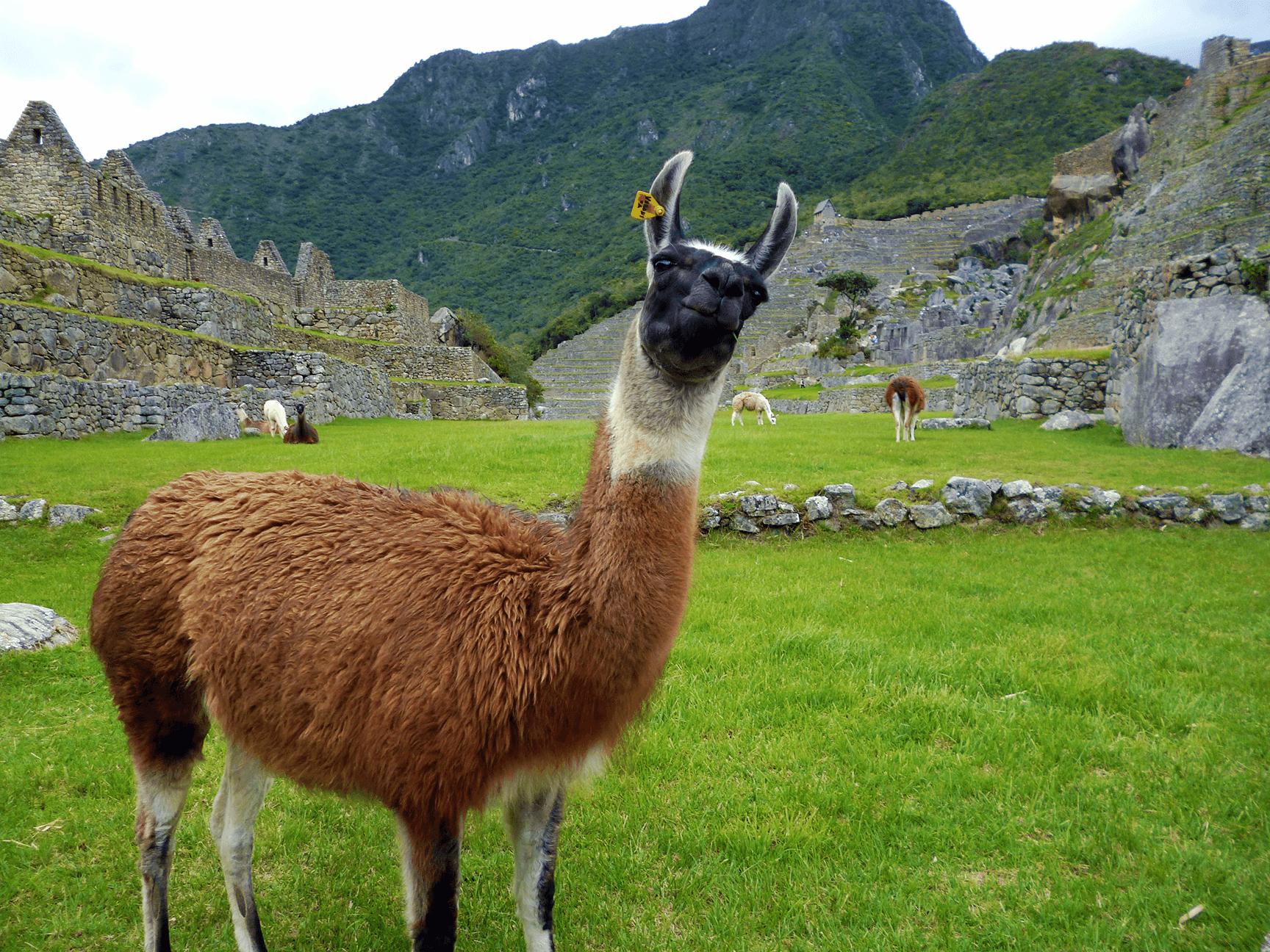 Curious alpaca at Machu Picchu