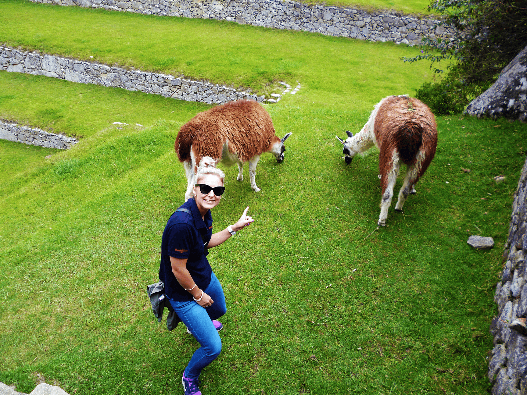 Alpacas graze on the lush grass of the central square