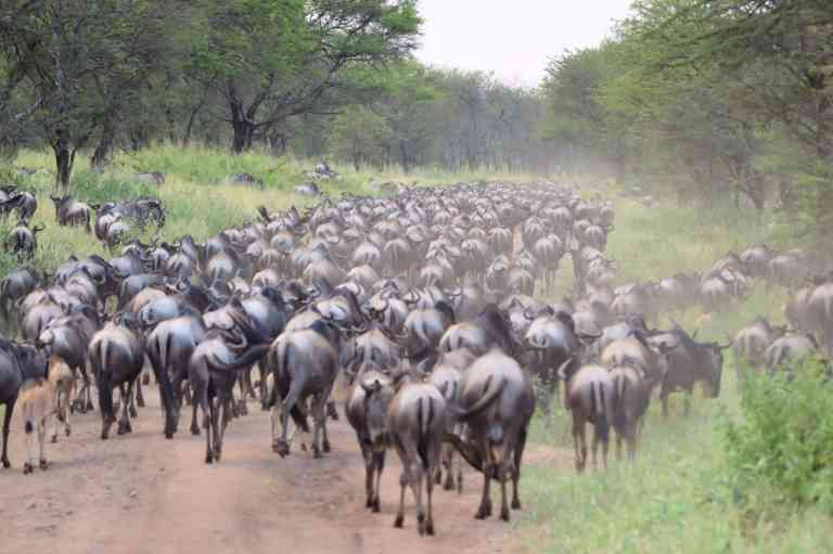 The Great Migration, Tanzania by Kenn Ortzen-Bario