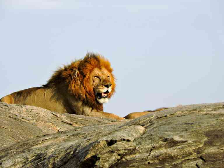 Lion overlooking the Serengeti National Park, Tanzania by Zoe Francis