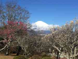 Fast Facts | Japan's Cherry Blossom