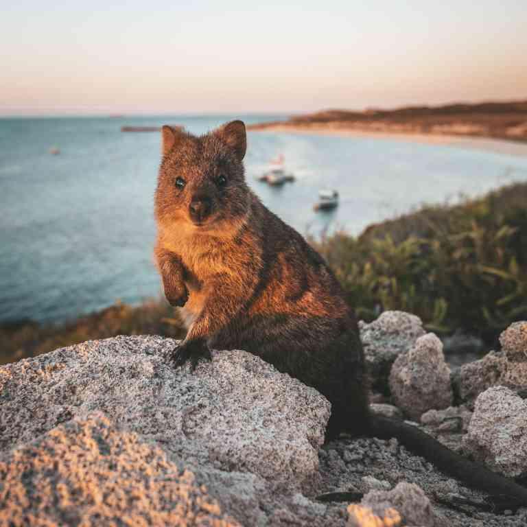Quokka on Rottnest Island, Western Australia by Tourism Western Australia